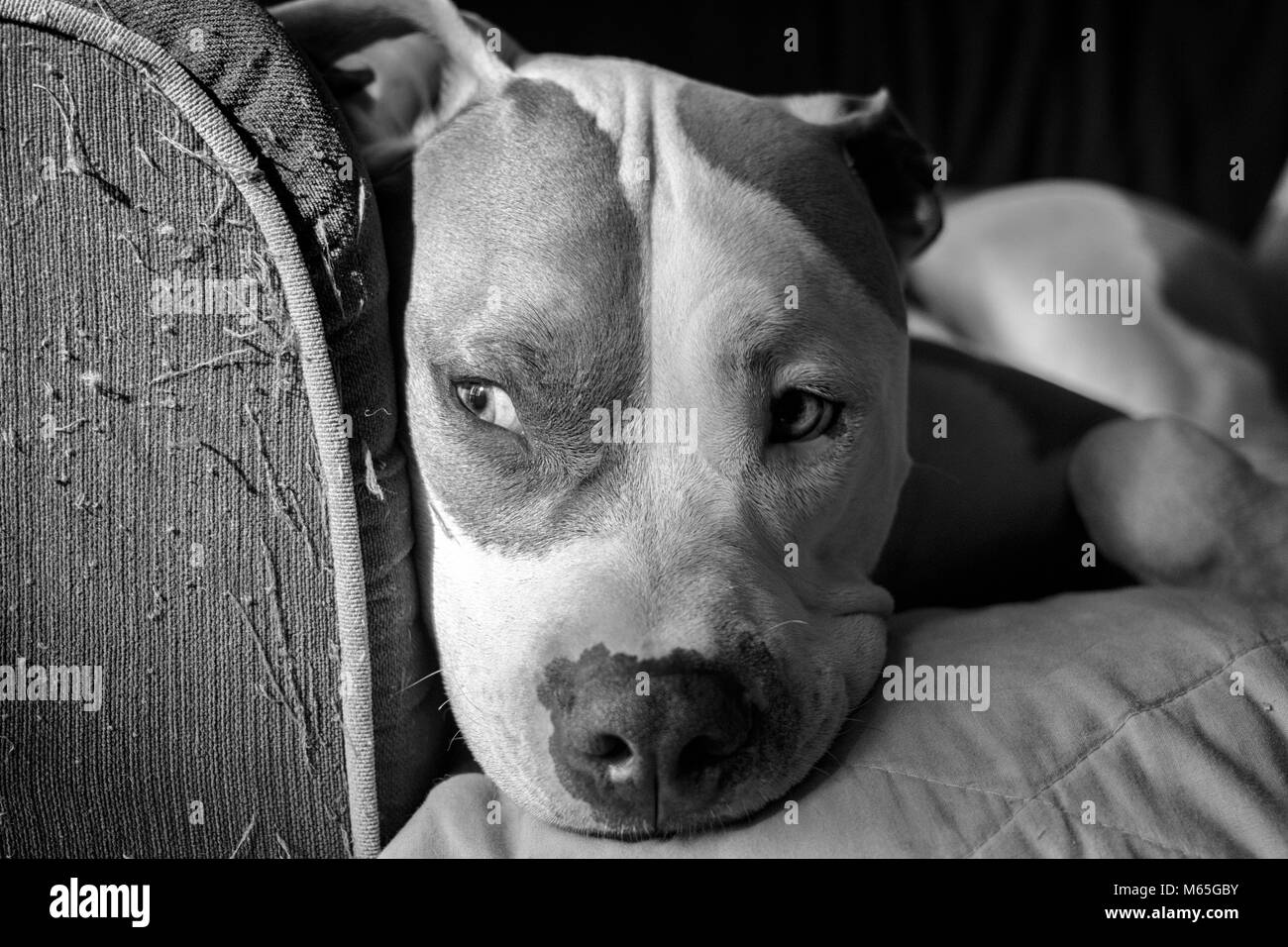Close-up of an American Pit Bull Terrier (Canis lupus familiaris) sitting on a couch in sunlight and shadows - Stock Image