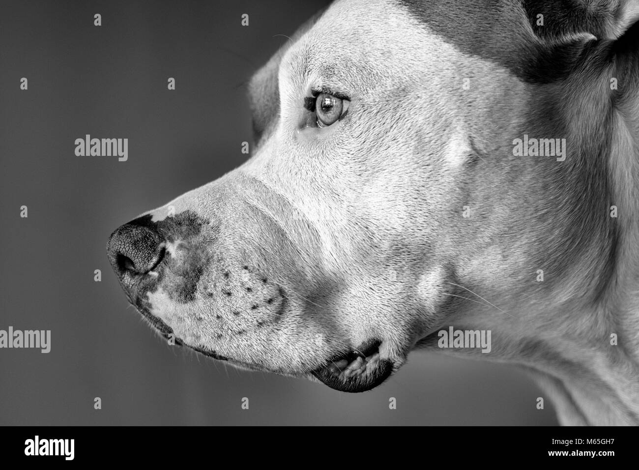 Profile of an American Pit Bull Terrier (Canis lupus familiaris) close-up - Stock Image