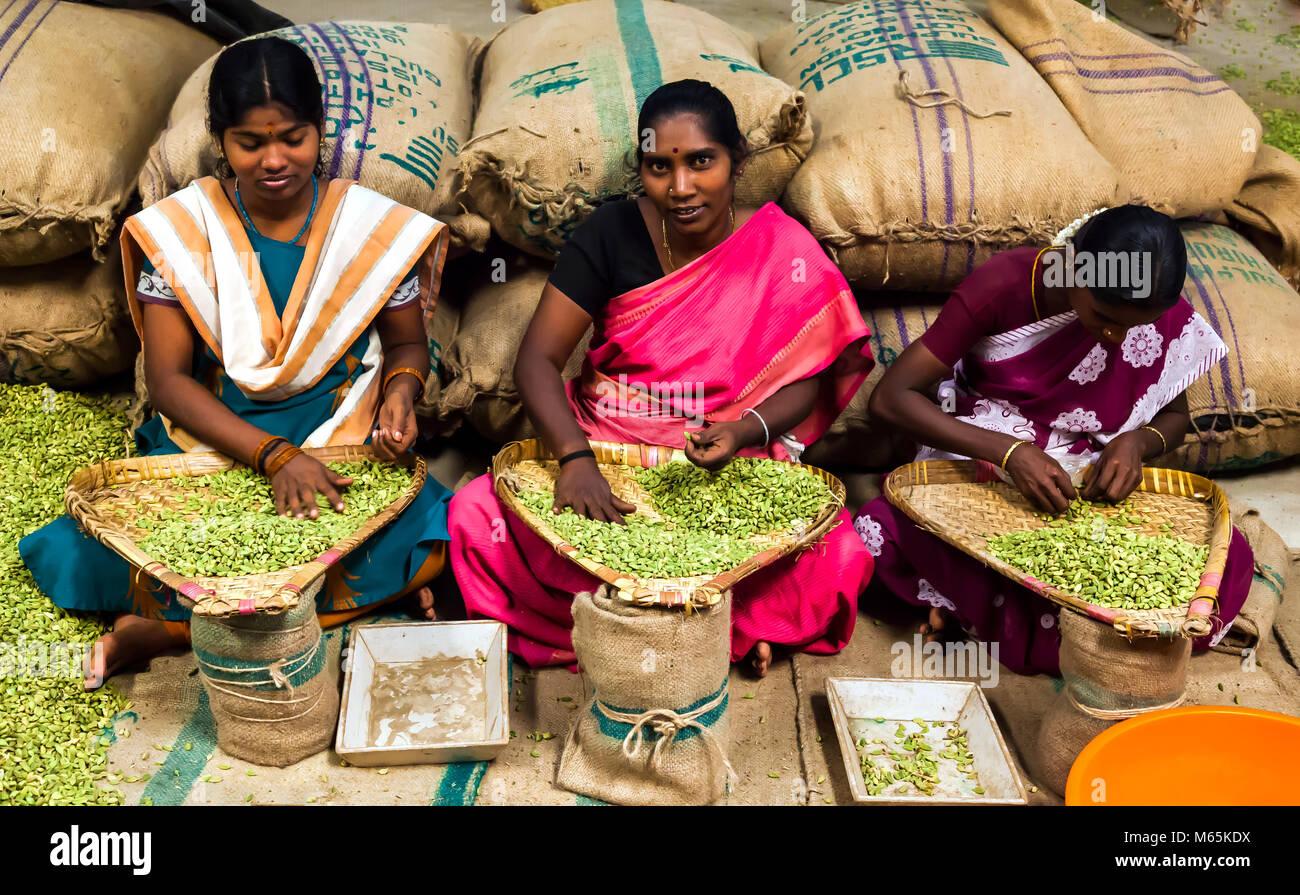 Cardamom pickers and grading of cardamom, near Thekkady in Periyar, Kerala, India. - Stock Image