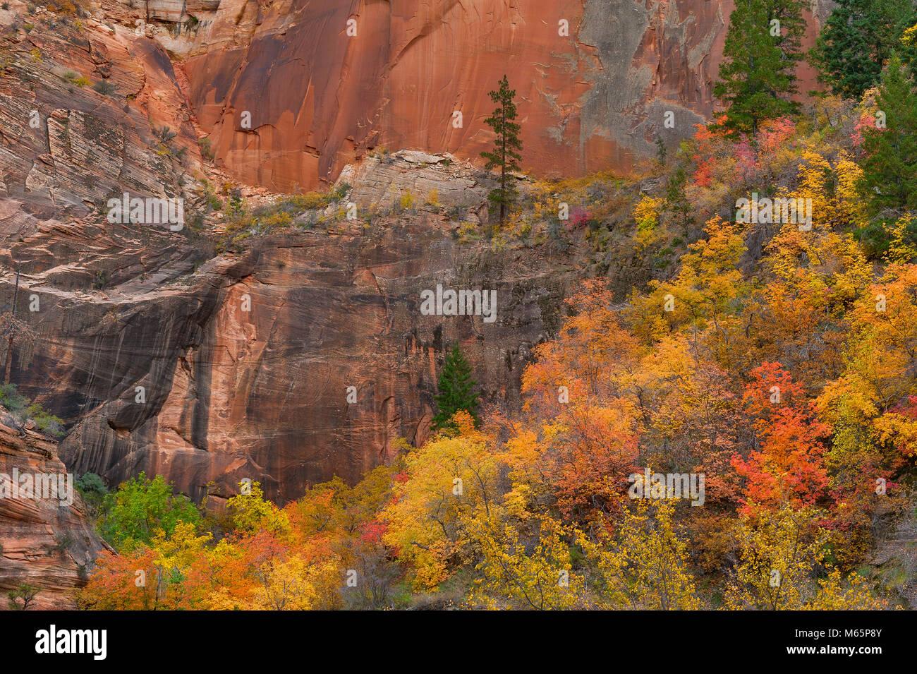 Bigtooth Maple, Acer grandidentatum, Echo Canyon, Zion National Park, Utah Stock Photo