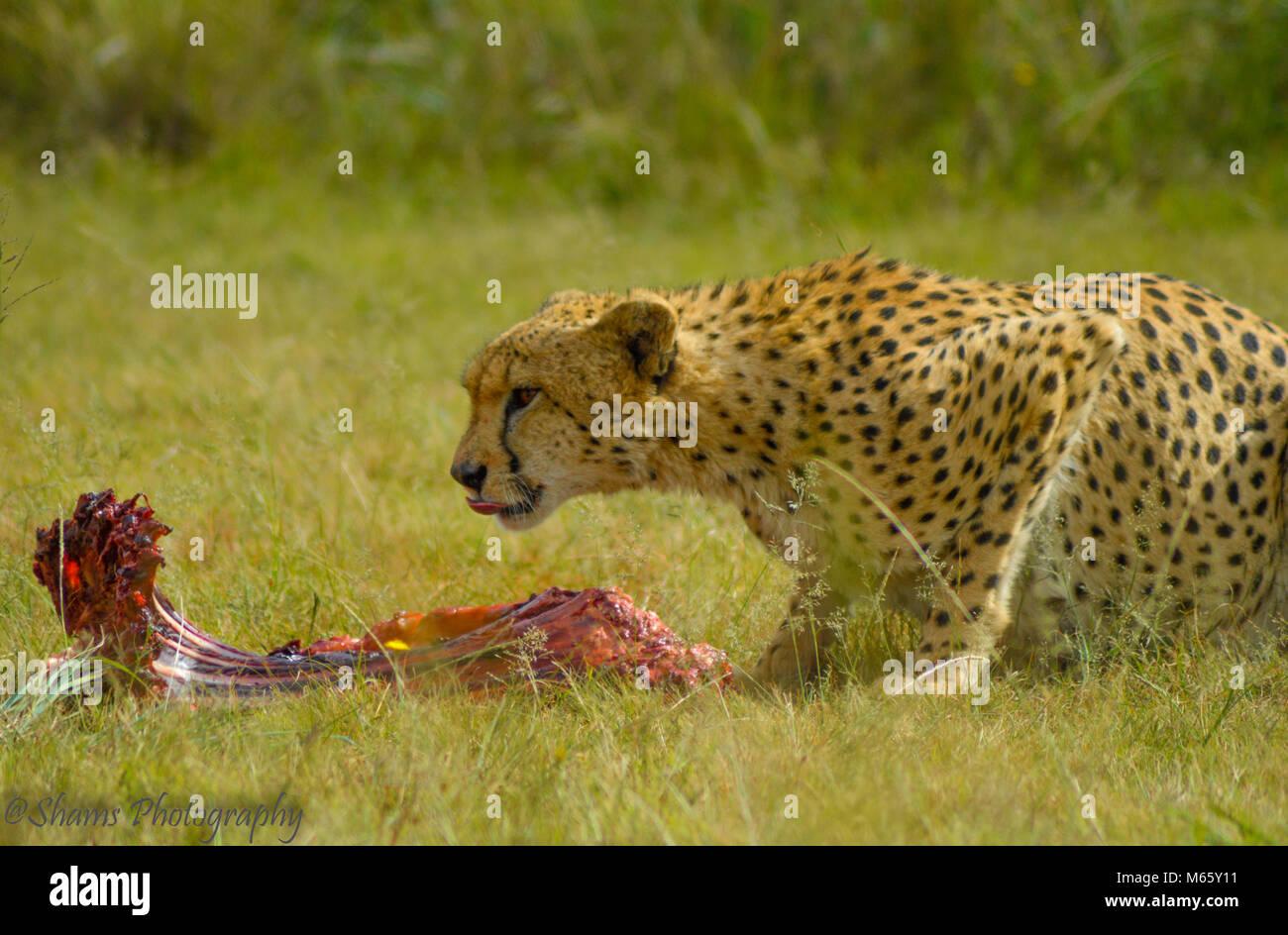 A cute cheetah in Kruger National park having food - Stock Image