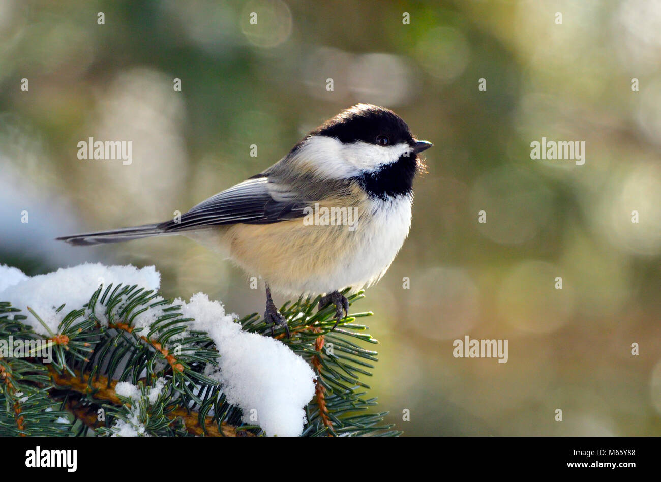 A  side view image of a black-capped chickadee bird perched on a tree branch in rural Alberta Canada. - Stock Image