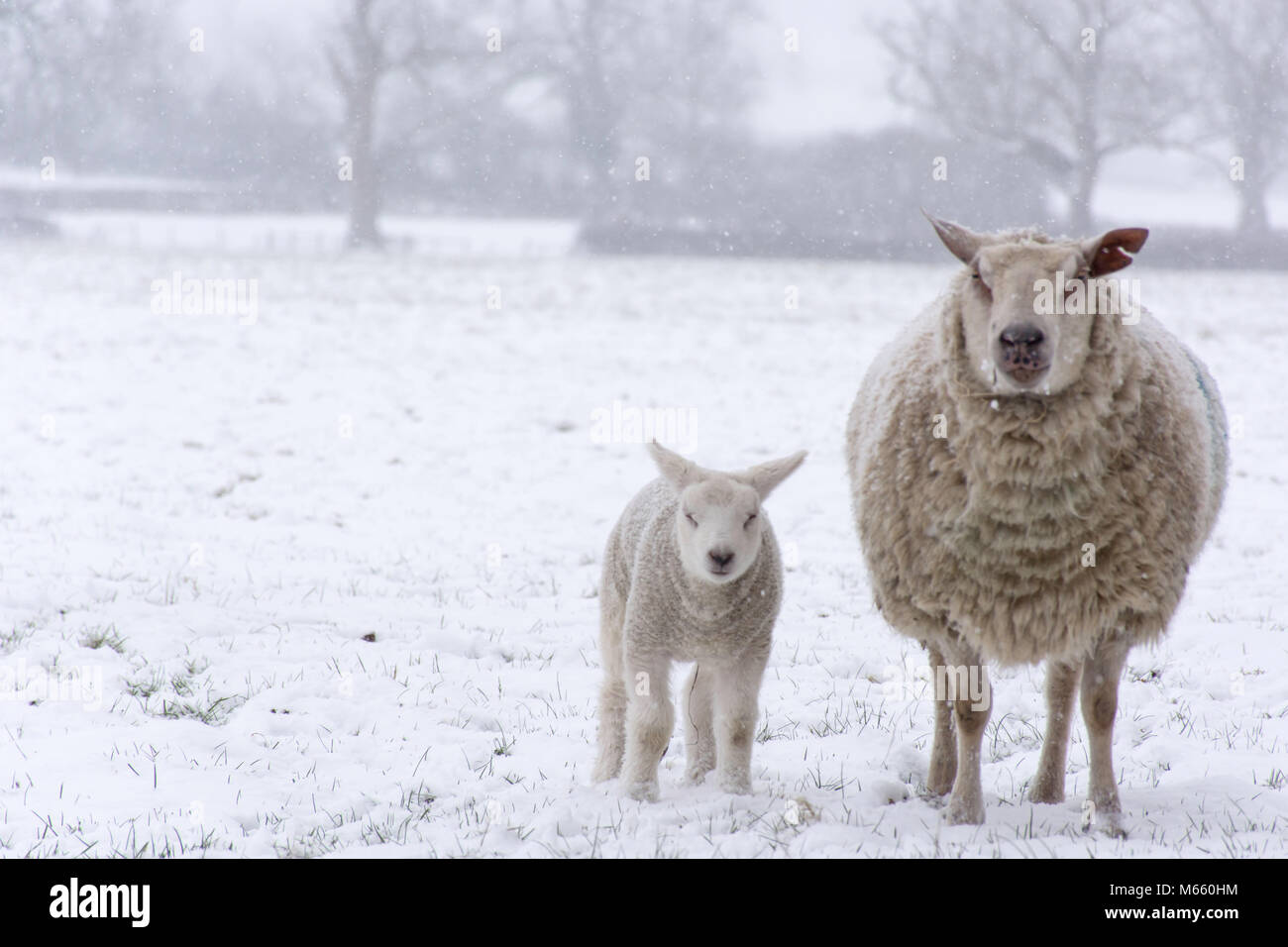 a ewe and her lamb during a heavy snowfall - Stock Image