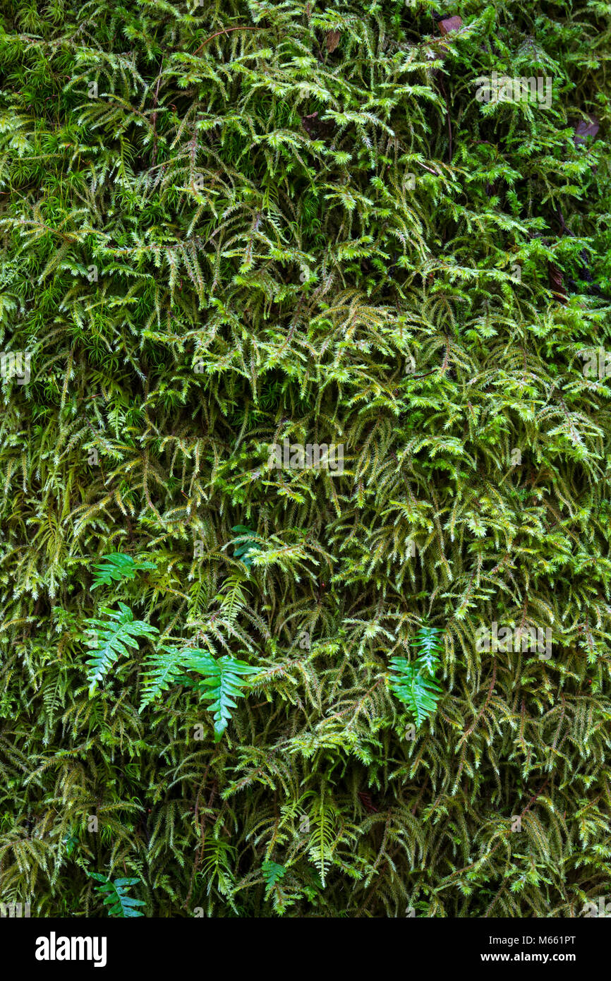 Moss and Licorice fern - Pacific Northwest - Stock Image
