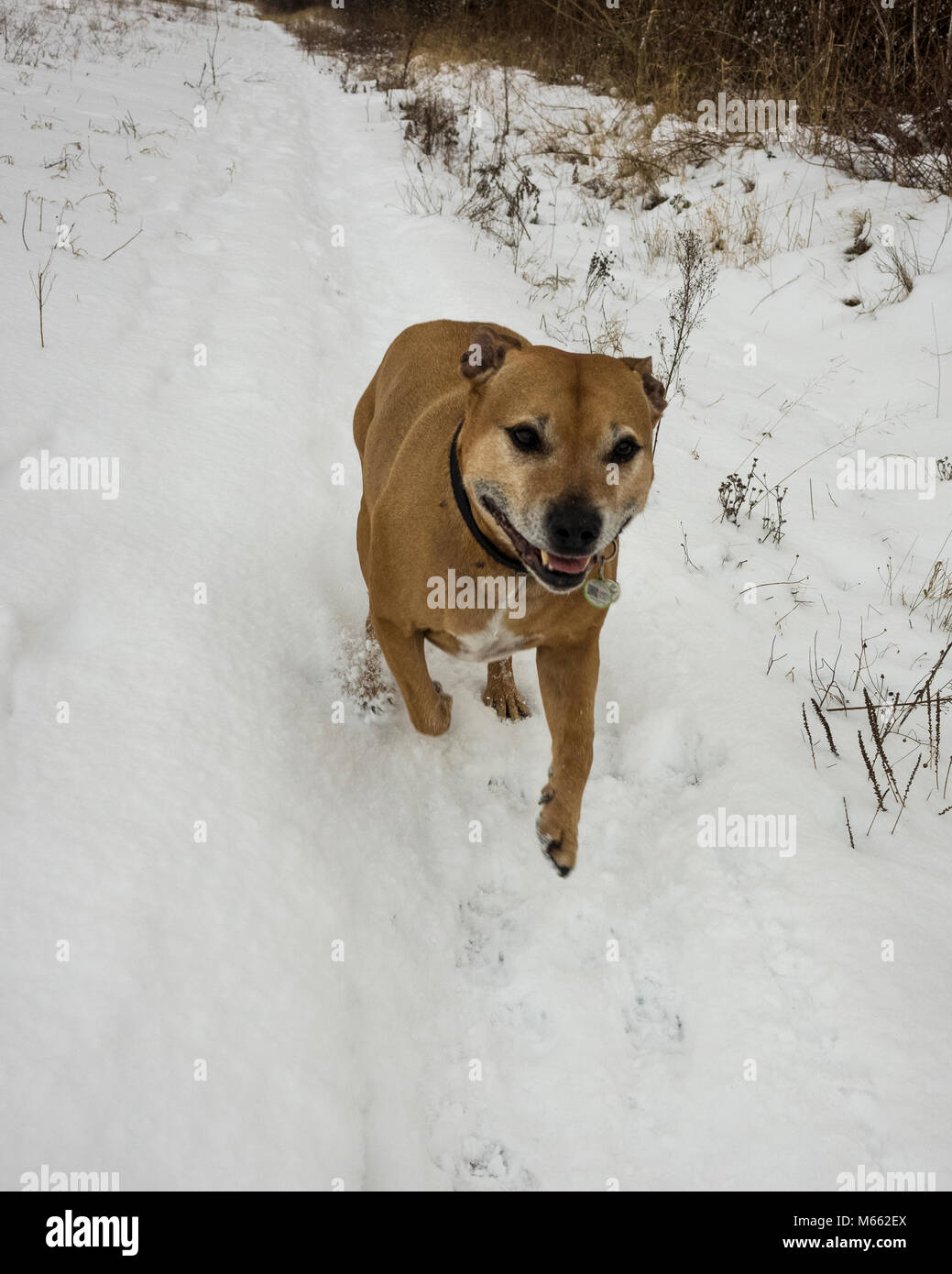 Ipswich, England. 28th February 2018. an old Staffordshire Bull Terrier pet dog, SBT, enjoying the snow in the cold - Stock Image