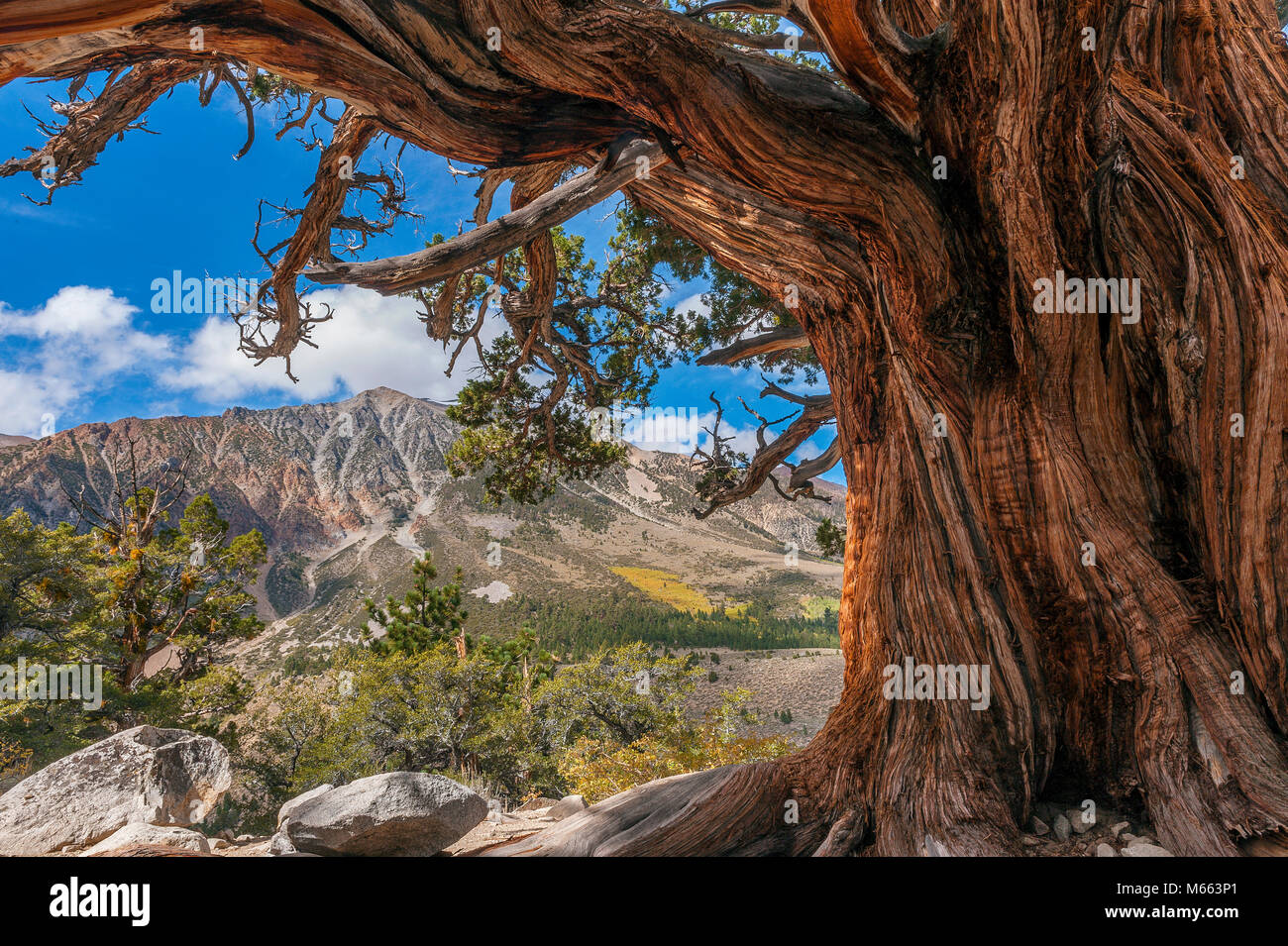 Cedar, Mount Gibbs, Mount Dana, Eastern Sierra, Inyo National Forest, Eastern Sierra CA - Stock Image
