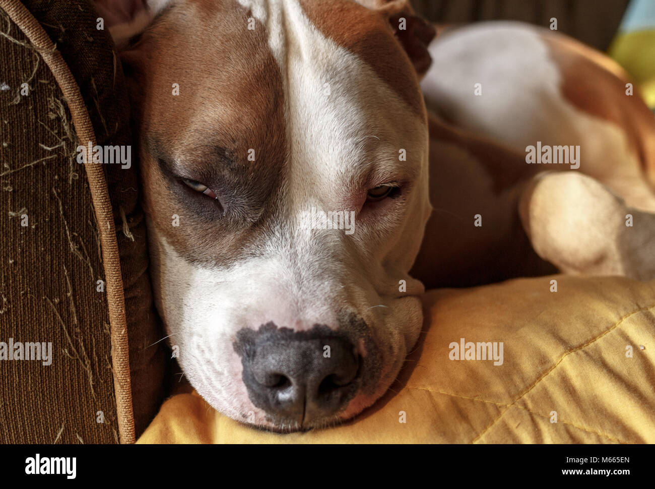 An American Pit Bull Terrier mix )Canis lupus familiaris) starts to fall asleep on a couch - Stock Image
