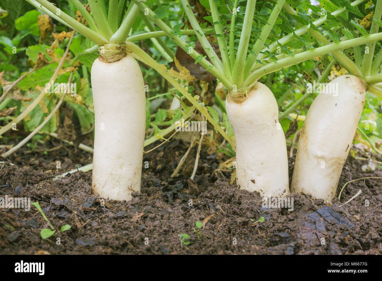 Japanese radishes, daikon, growing in a farm in october - Stock Image