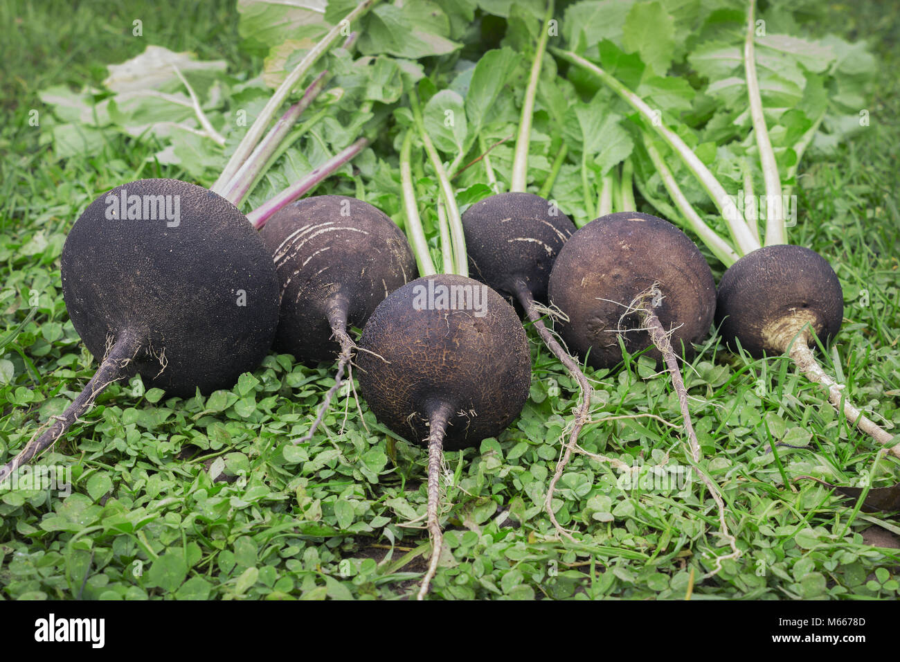 Black radish reaches maturity in October. Valuable root vegetables - Stock Image
