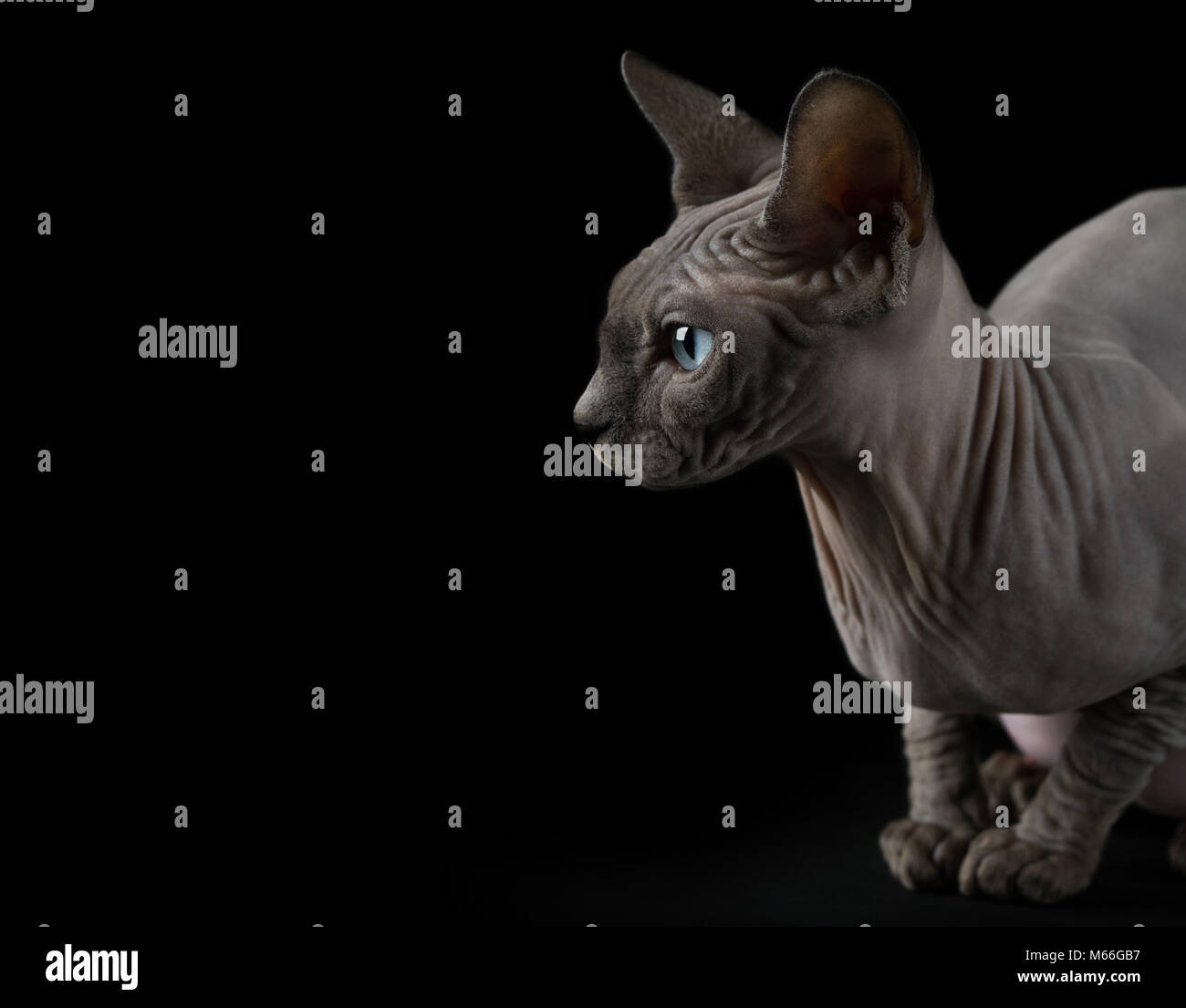 Portrait of a Sphynx cat - Stock Image