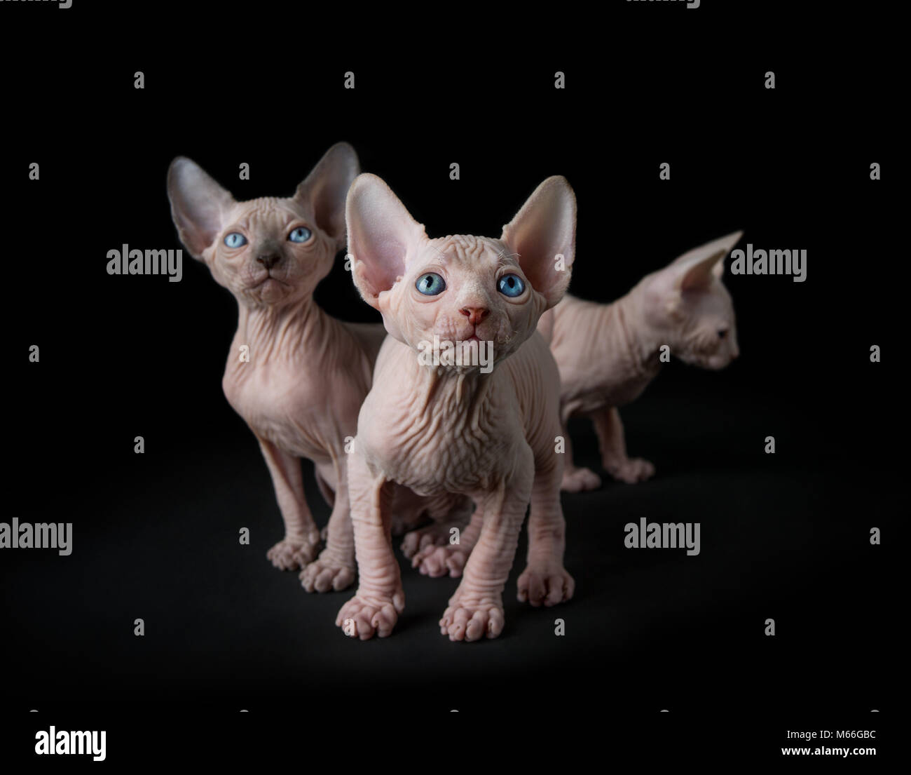 Three sphynx kittens - Stock Image