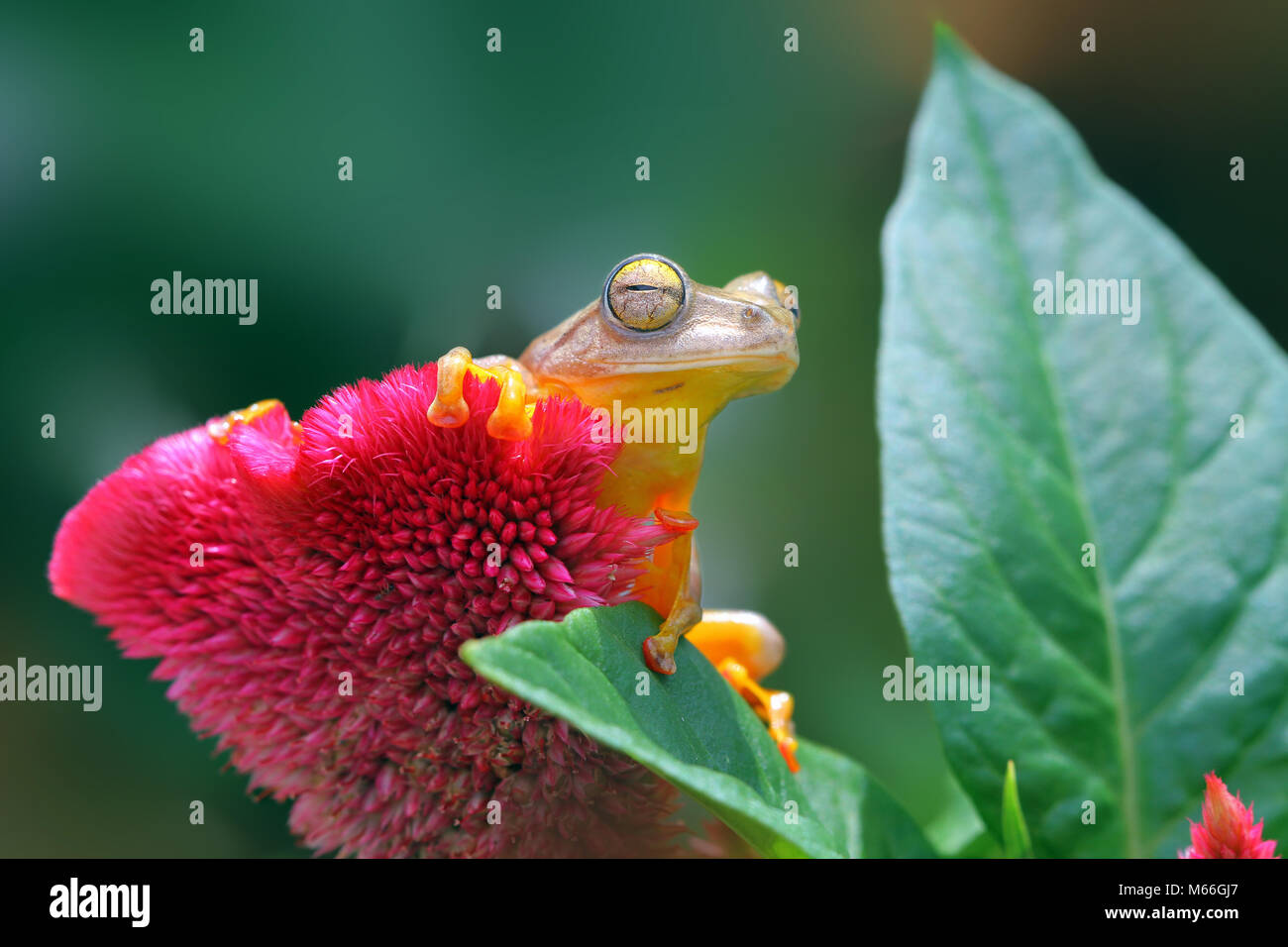 Harlequin tree frog on a flower, Indonesia Stock Photo