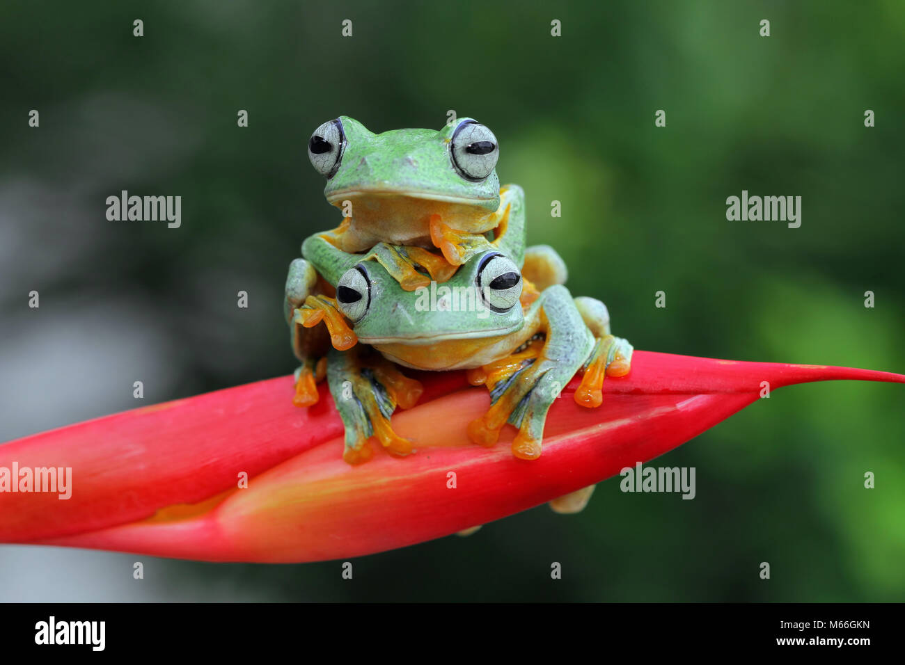 Two Javan tree frogs sitting on top of each other,Indonesia Stock Photo