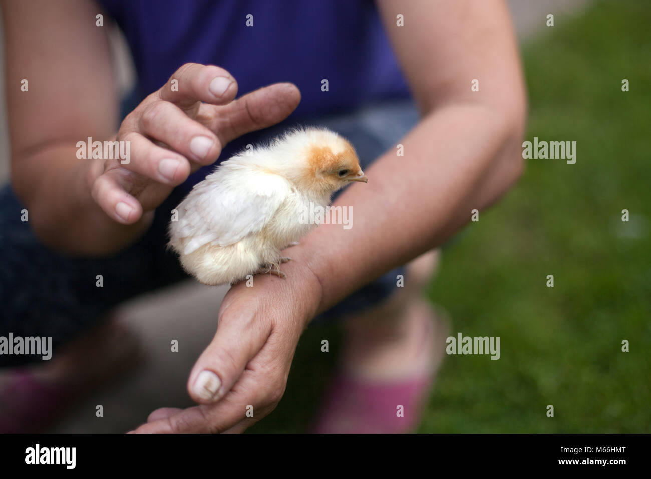chickens, young chickens on the farm kept in hands - Stock Image