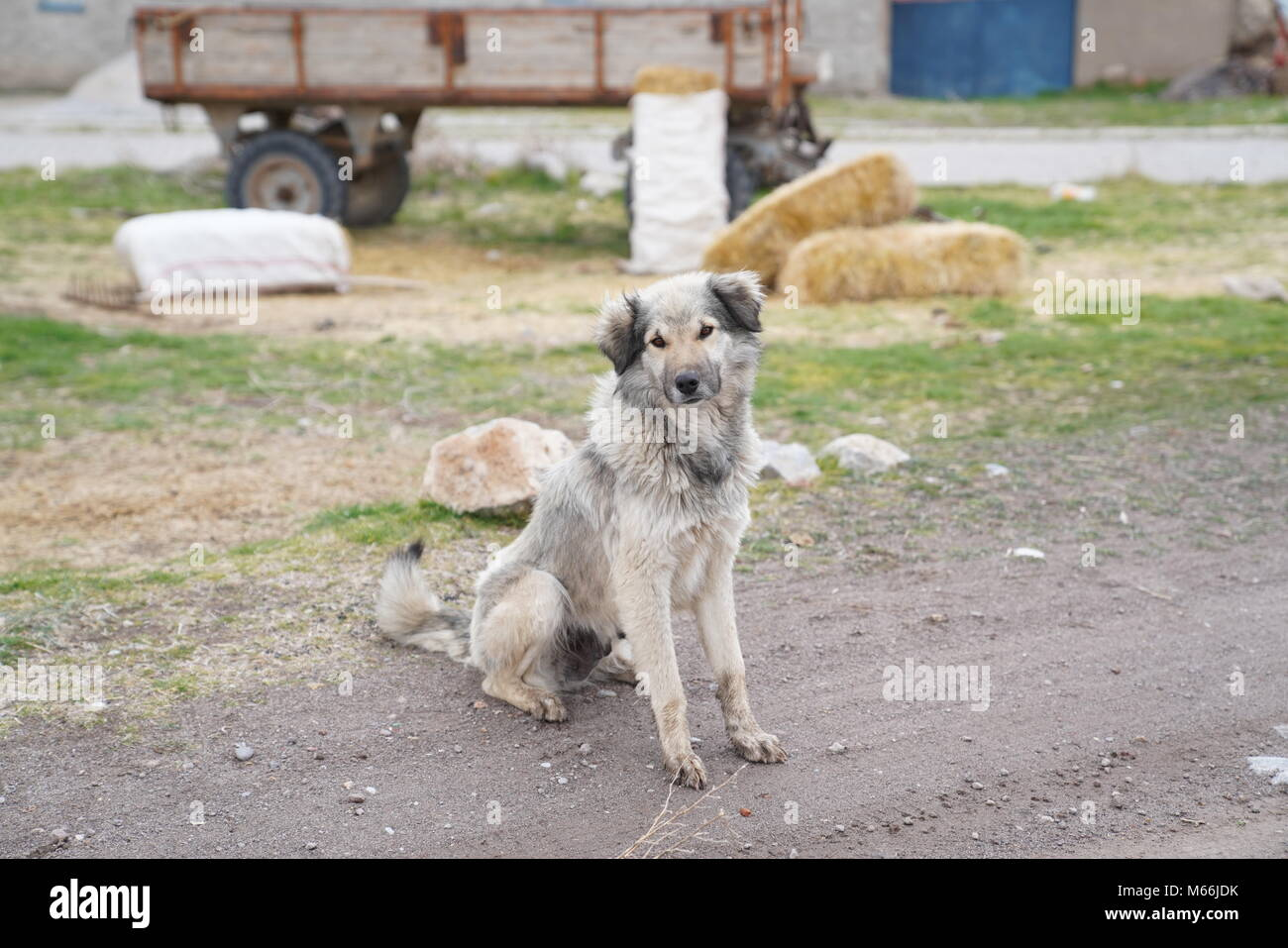 A grey hairy beautiful dog just in front of a  tractor trailer and country houses - Stock Image