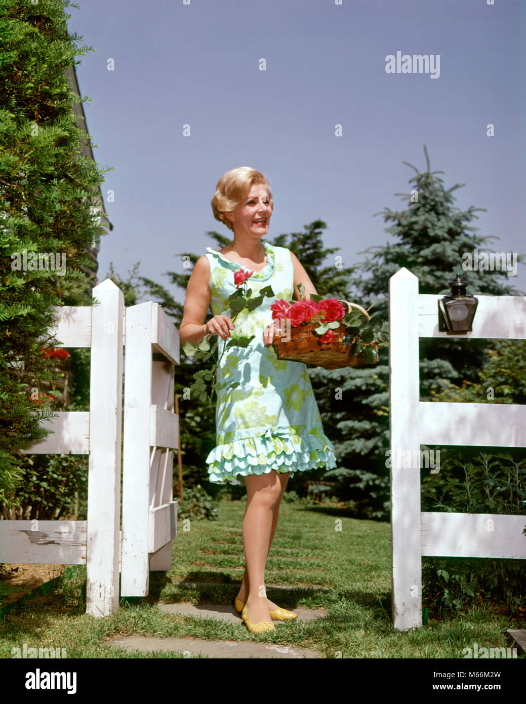 1960s MATURE WOMAN WEARING PRINT DRESS HOLDING BASKET OF RED ROSES FROM HER GARDEN - kf5689 HAR001 HARS BLOND PLAN Stock Photo