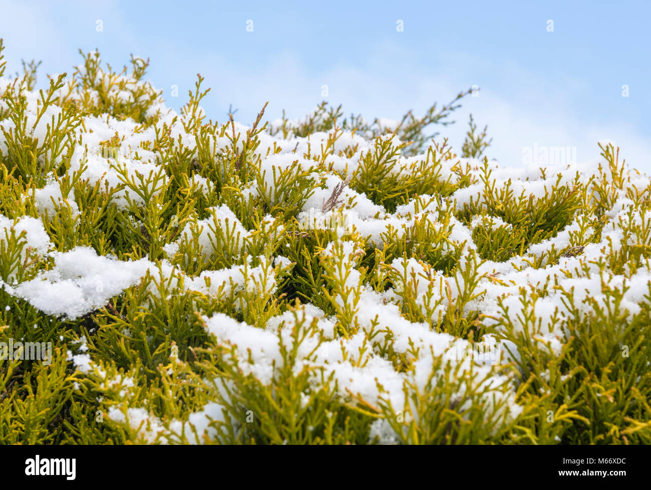 Snow settled on conifer bush in Winter in the UK. - Stock Image