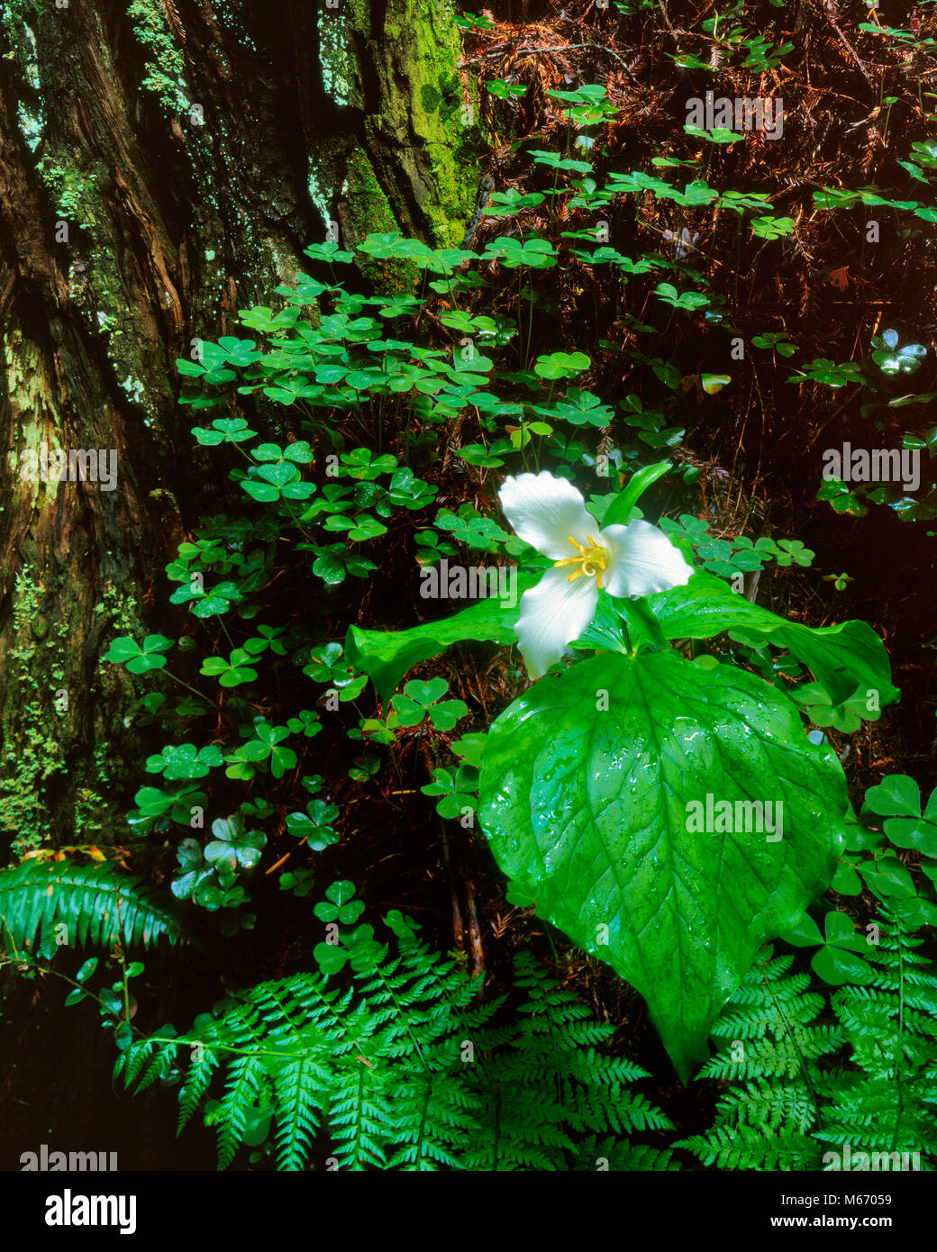 Trillium, Trillium ovatum, Redwood Trunk, Redwood National Park, California - Stock Image