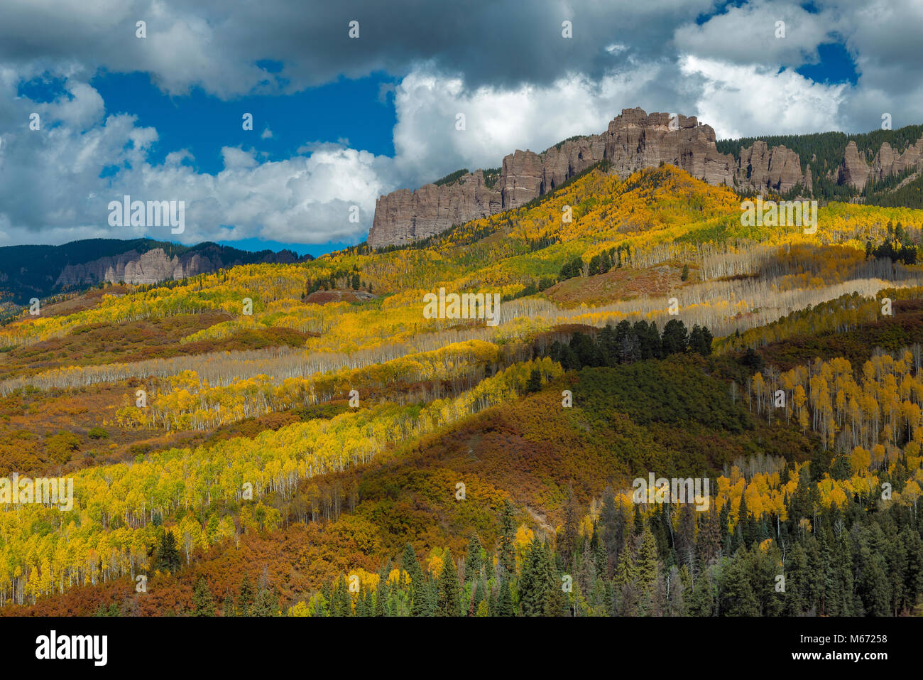 Aspens, Populus Tremula, Cimarron Ridge, Uncompahgre National Forest, Colorado - Stock Image