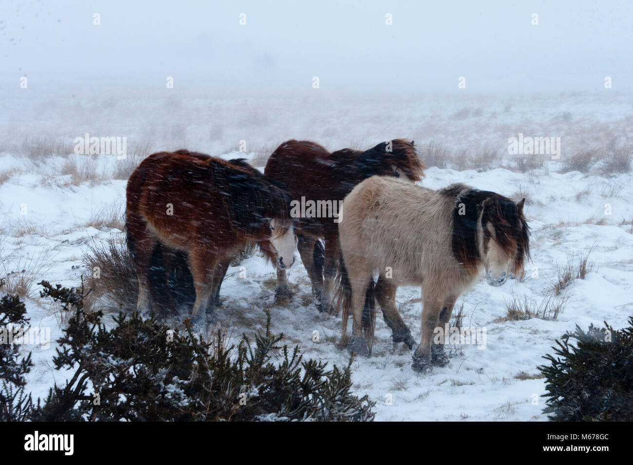 Builth Wells, Powys, Wales, UK. 1st March, 2018. On the first day of Spring, Welsh Mountain Ponies huddle together Stock Photo