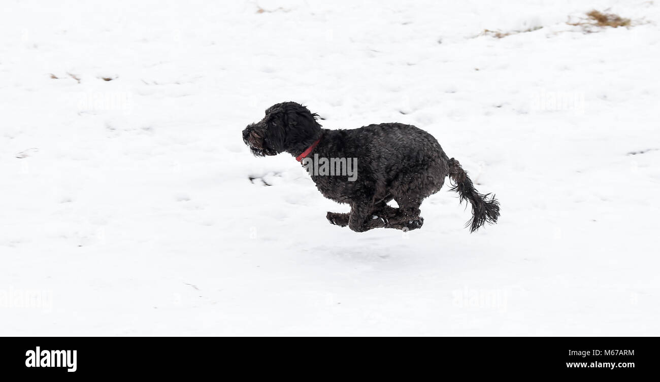 Brighton, UK. 1st March 2018. UK Weather: Herbie the snowdog enjoys playing in the snow at Ditchling Beacon along - Stock Image