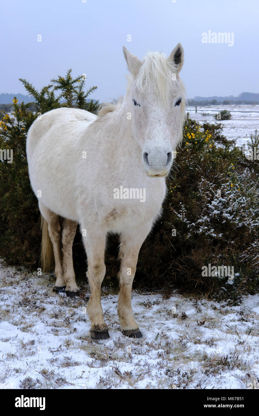 New Forest. 1st Mar, 2018. UK Weather: First day of spring in the New Forest Hampshire with snow from the beast Stock Photo
