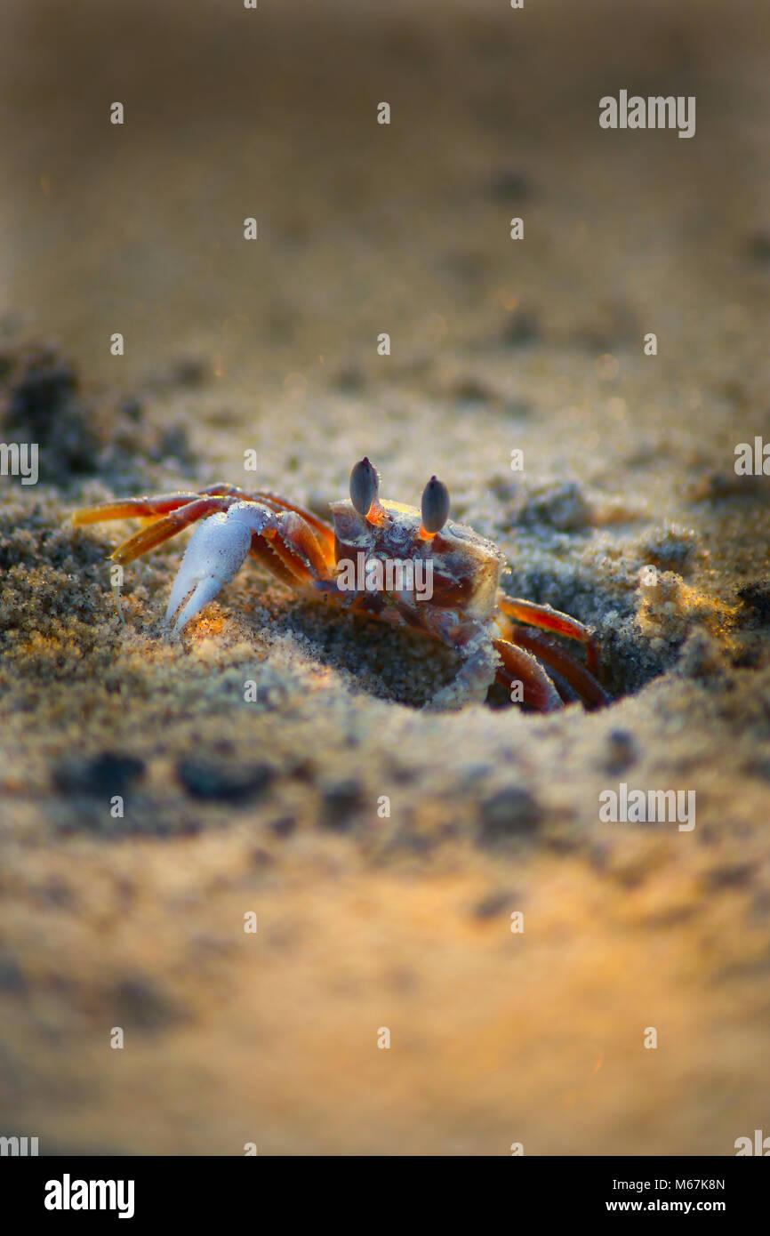 Beach Crab - Stock Image