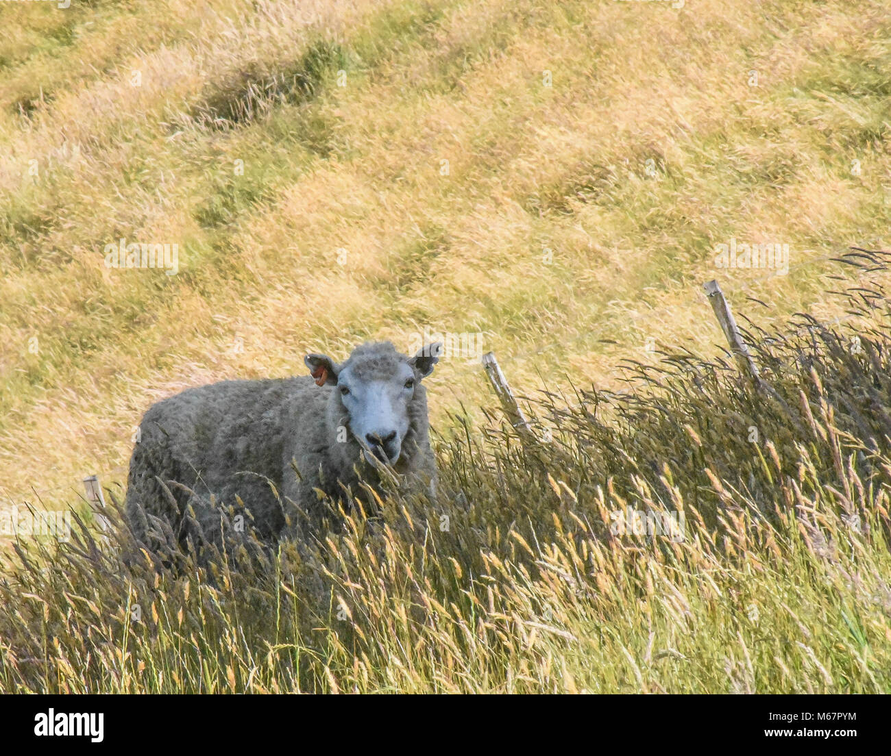 lone sheep grazing in the field - Stock Image