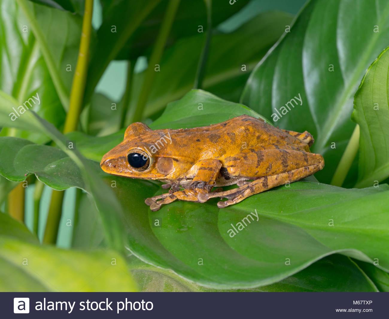 Panamanian golden frog Atelopus zeteki Captive Pet - Stock Image