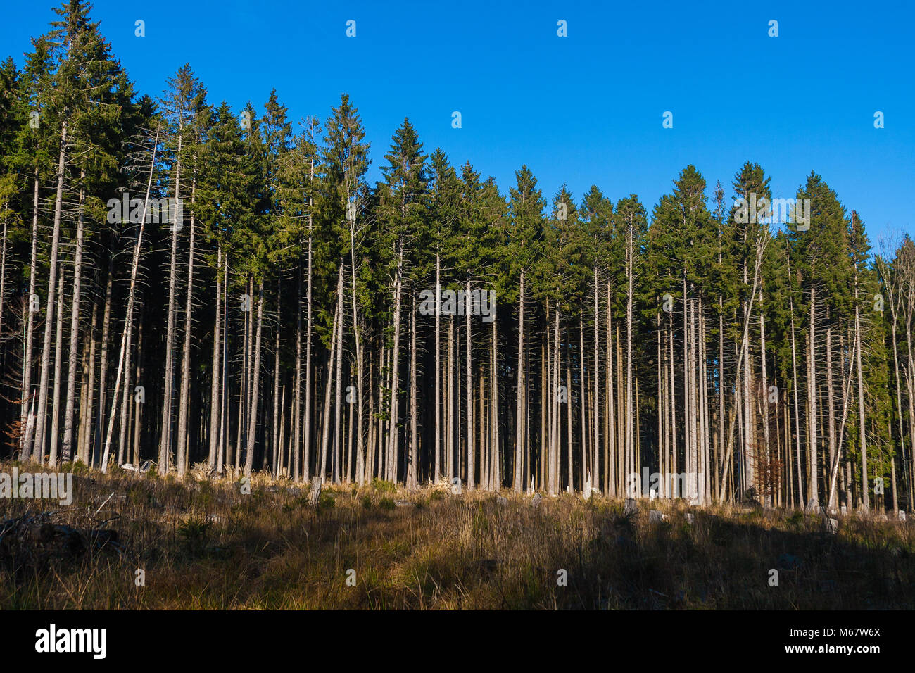 A conifer forest industrially exploited in Vosges, France - Stock Image
