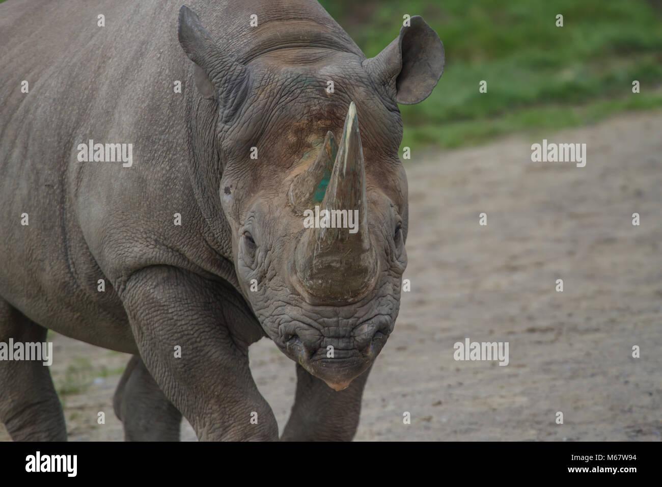 photo of a beautiful majestic Black Rhino - Stock Image