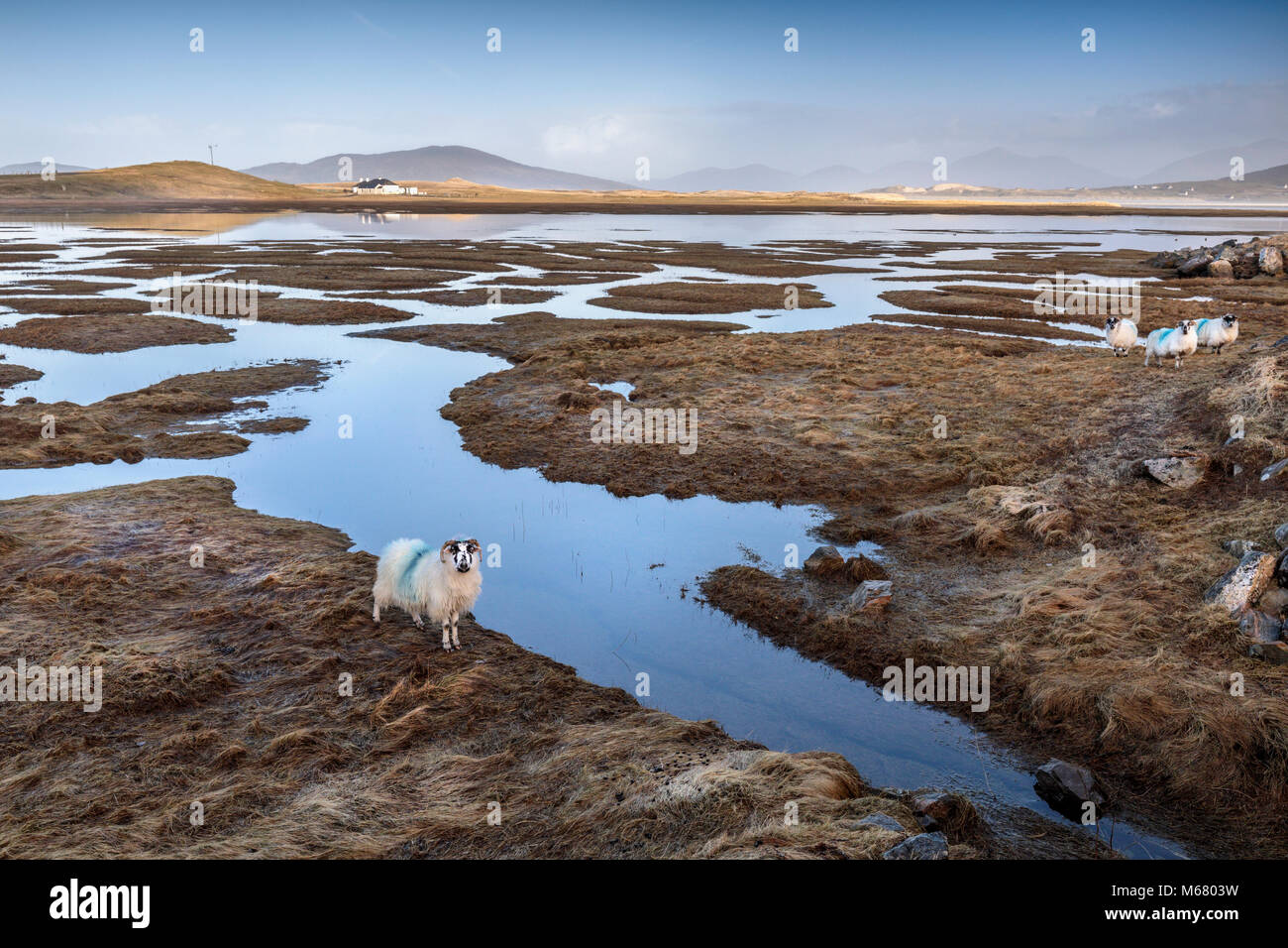A sheep watching the photographer at Seilebost saltings towards Luskentyre, Isle of Harris, Western Isles, Scotland Stock Photo