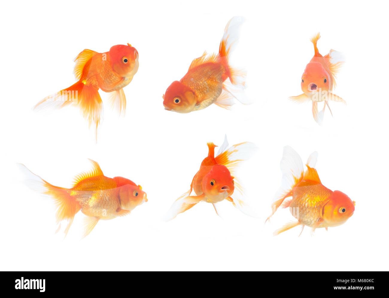Many gold fish on the white background Stock Photo