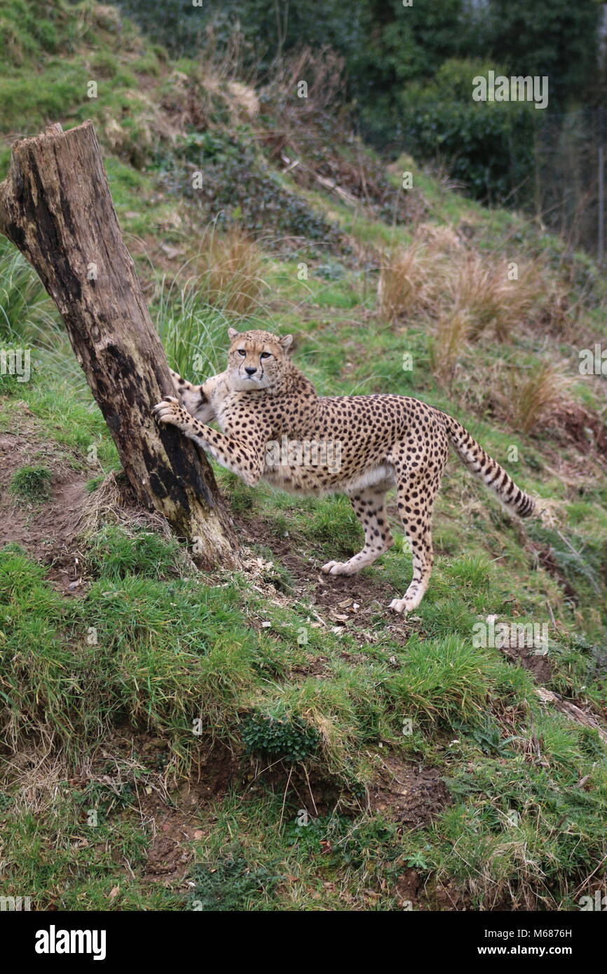 Cheetah by a tree - Stock Image