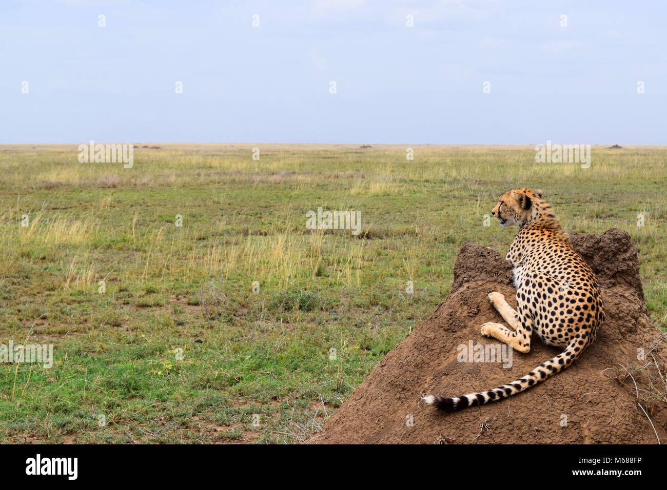 Cheetah in Serengeti, Tanzania Stock Photo