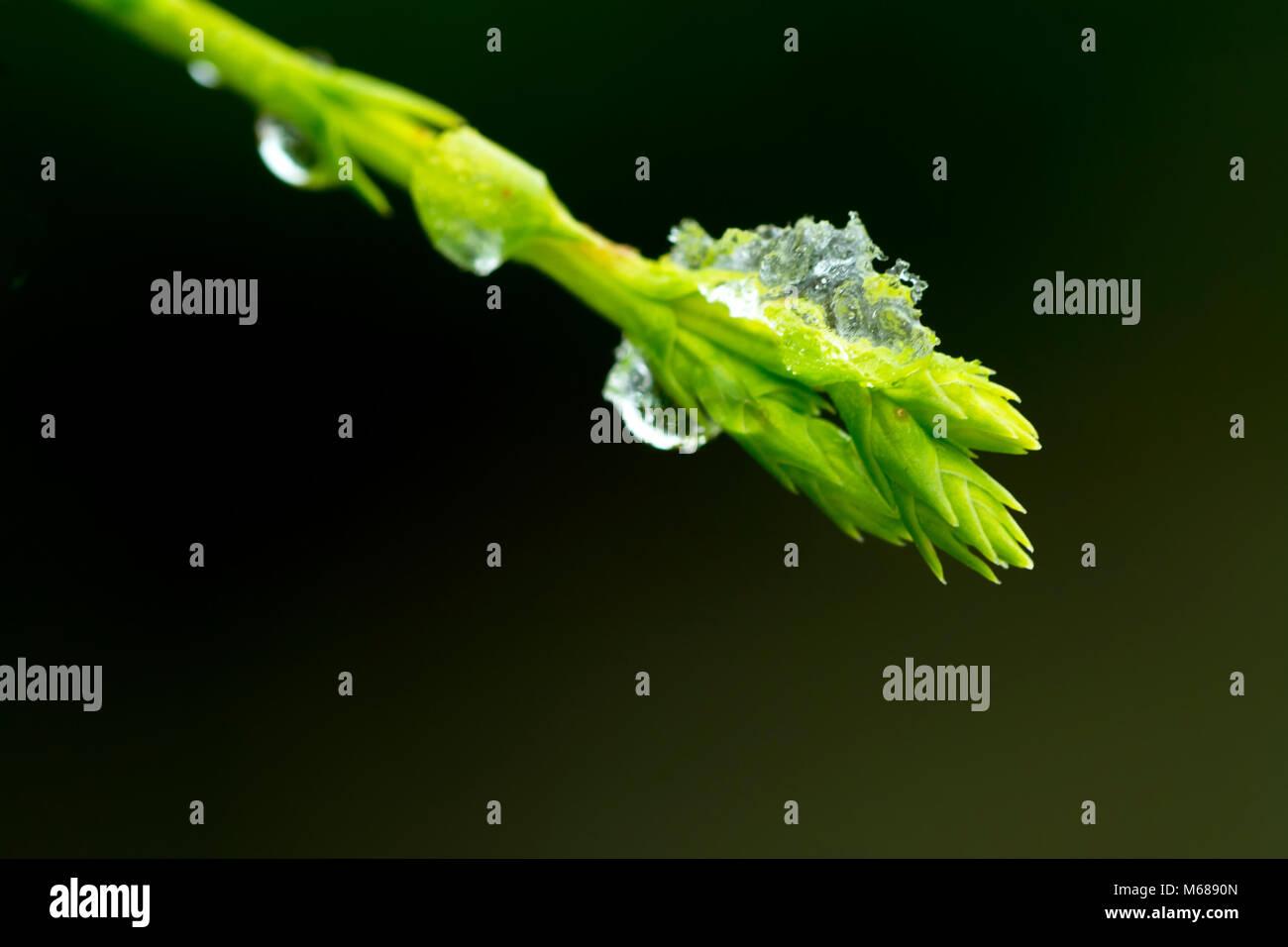 Ice formation on Leylandii Hedge branch tip - Stock Image