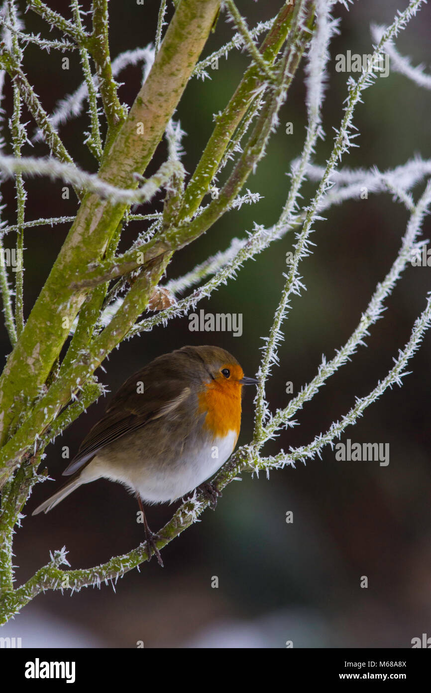 Robin sitting in a rose bush covered in hoar frost. - Stock Image