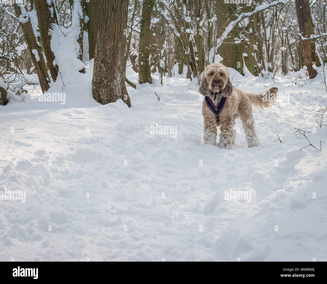 A Cockerpoo dog enjoys a snowy walk through the woods during the extreme cold Winter weather period known as The Stock Photo