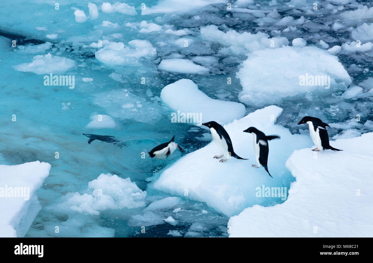 A group of Adelie Penguins form a line to jump off an ice flow and off into the waters of Antarctic Sound by Joinville - Stock Image