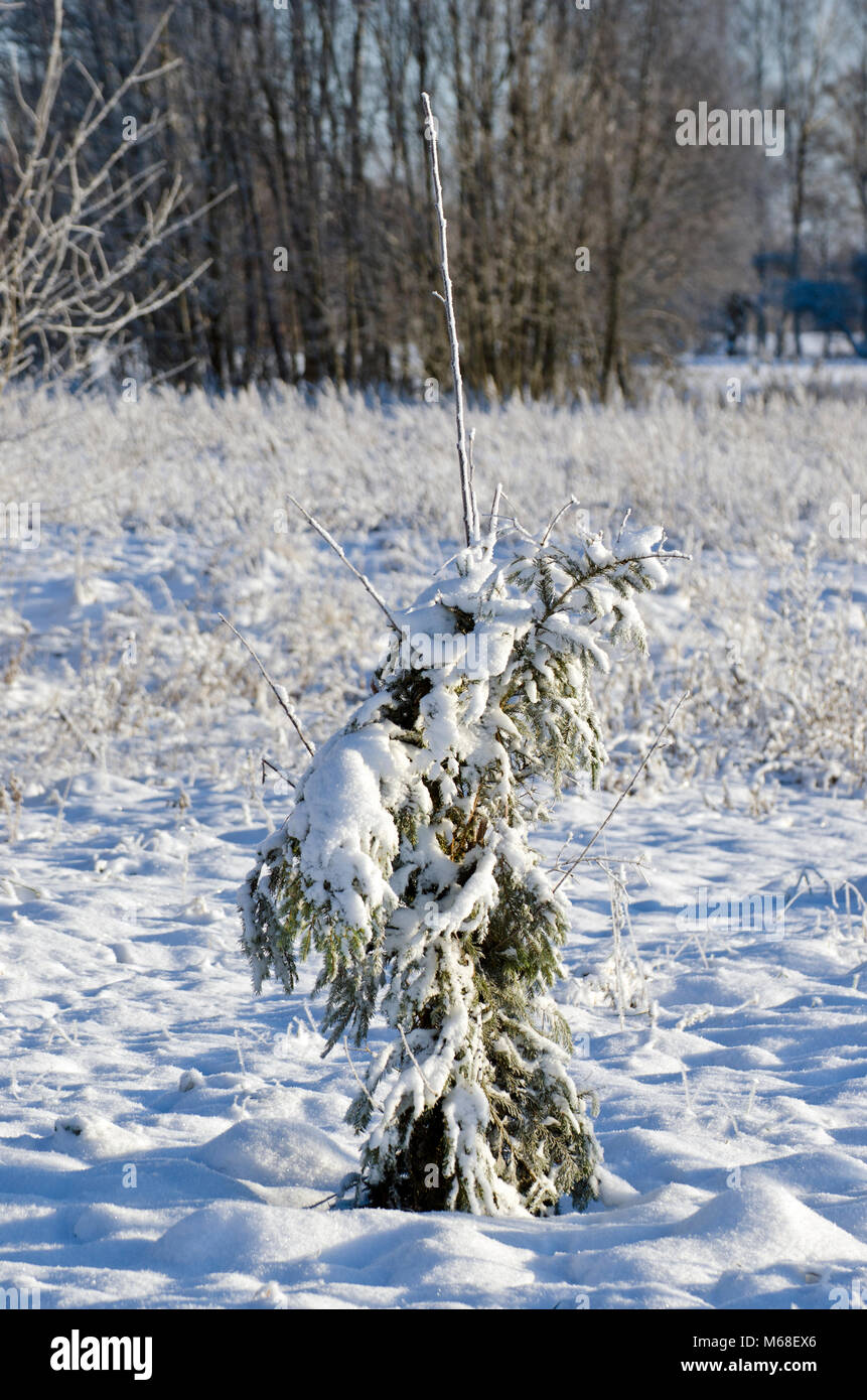 Protected with fir branches young apple tree in winter garden - Stock Image