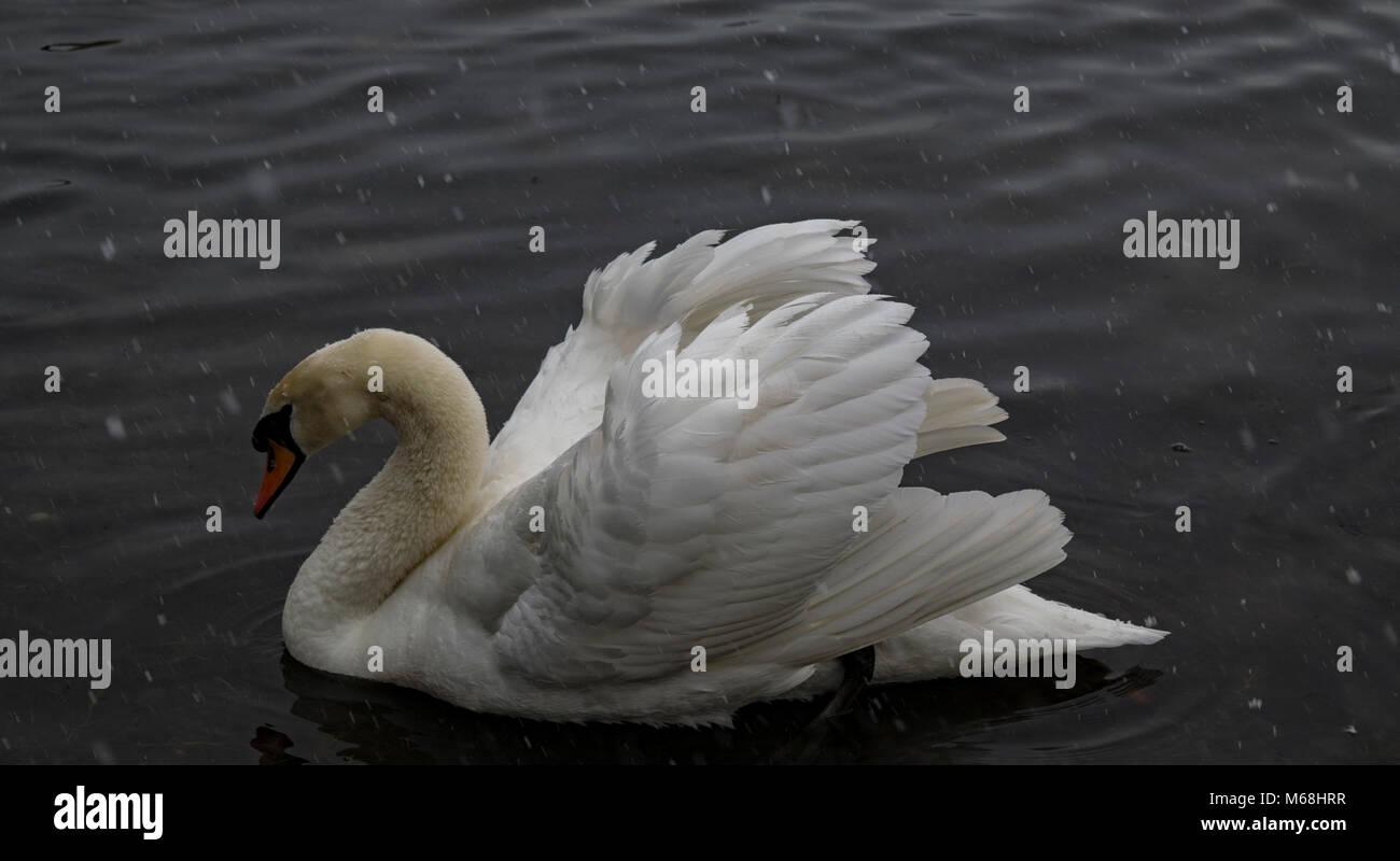 White swans - Stock Image