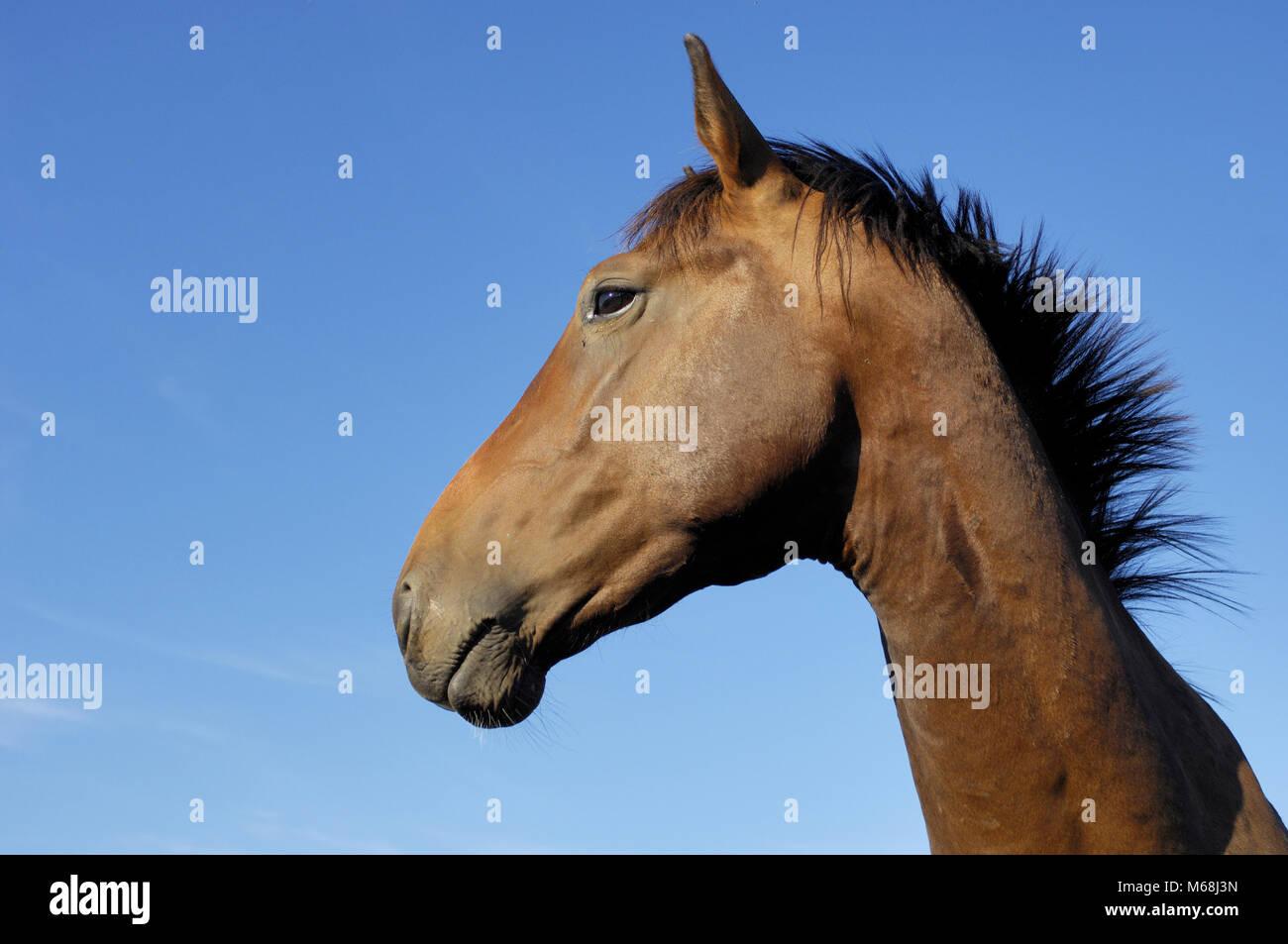 Pferd - Stock Image