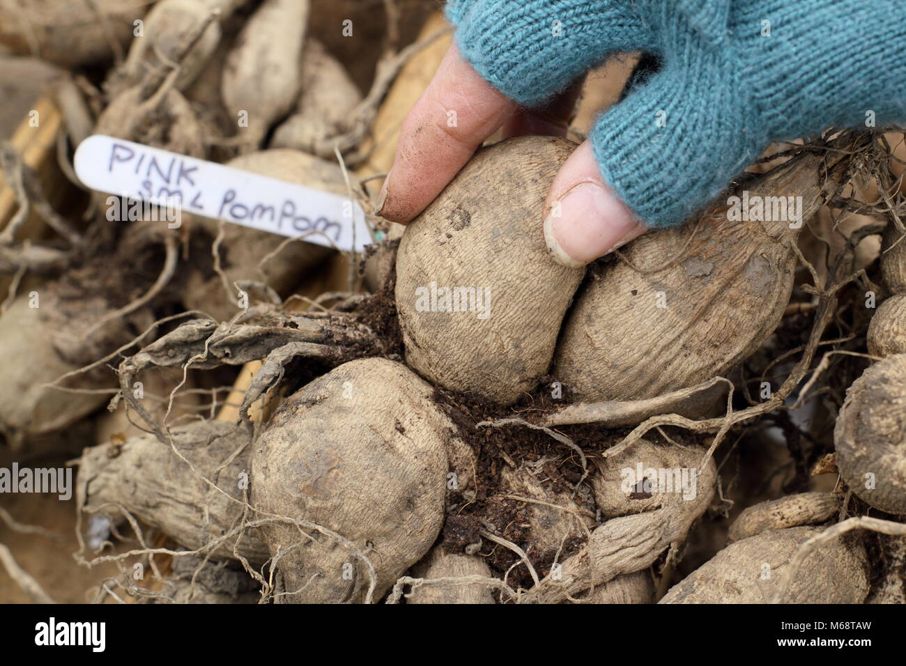 Checking dahlia tubers for rot during over winter storage, UK - Stock Image