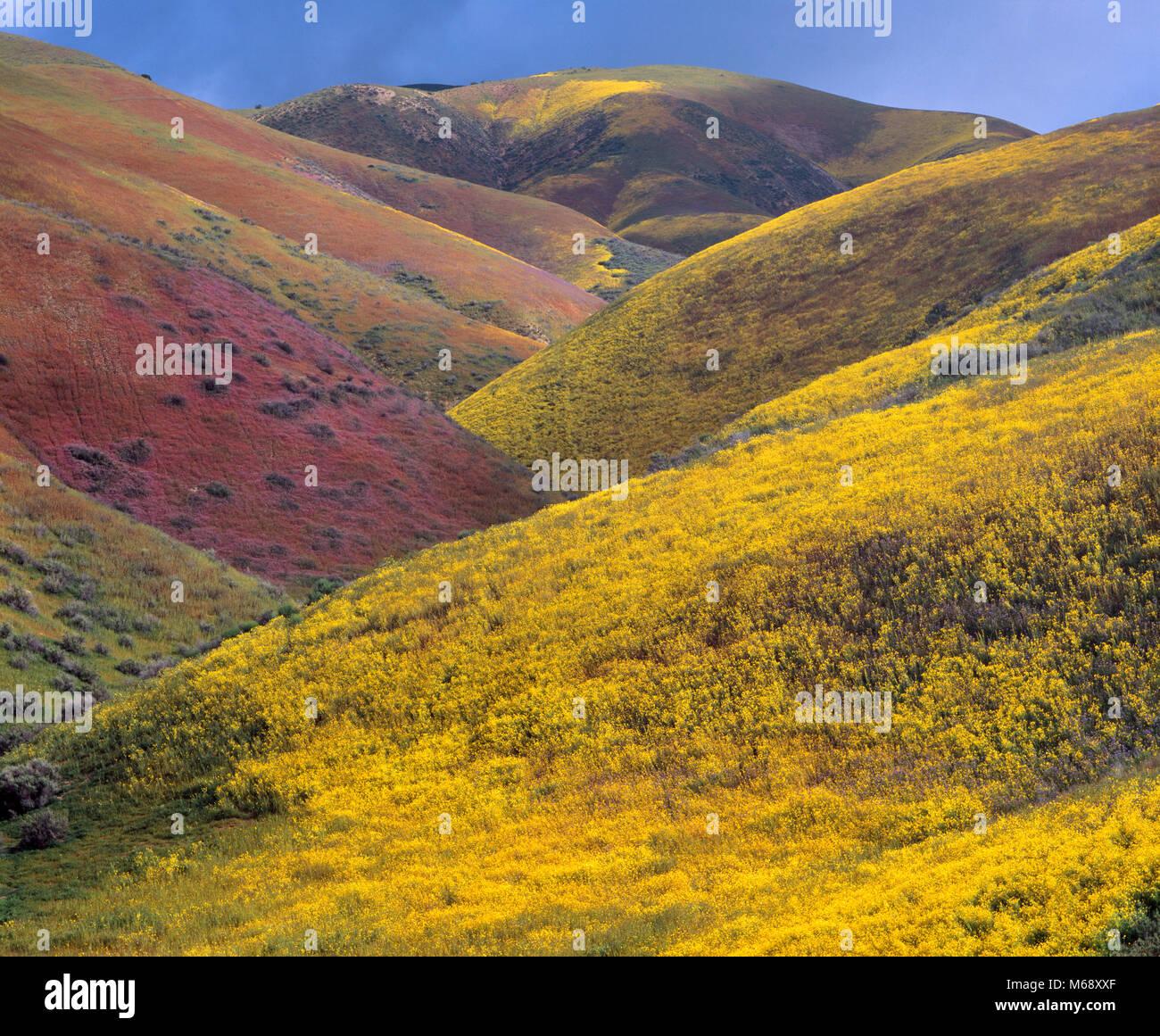 Wildflowers, Tremblor Range, Carrizo Plain National Monument, San Luis Obispo County, California - Stock Image