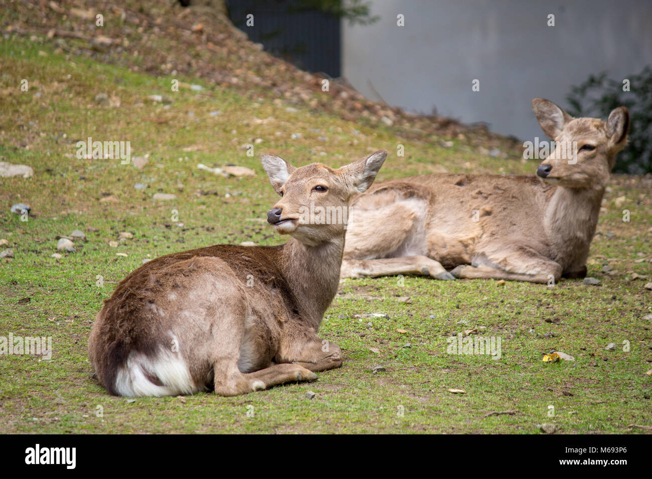 Deer grazing around the Tōdai-ji Buddhist temple complex that was once one of the powerful Seven Great Temples, - Stock Image