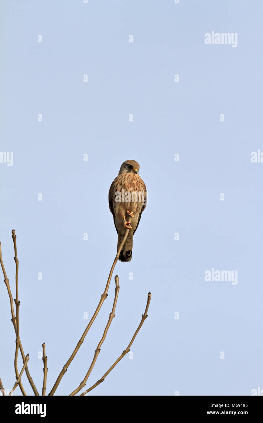 Kestrel, Falco tinnunculus perched high in a tree, England, UK. - Stock Image