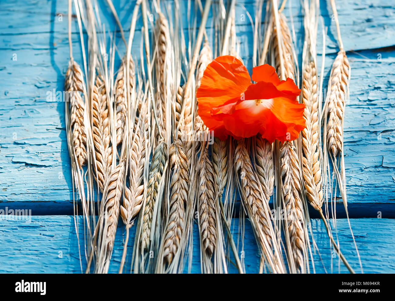 a still life of ripe Golden ears of corn and a bright red poppy on blue table - Stock Image