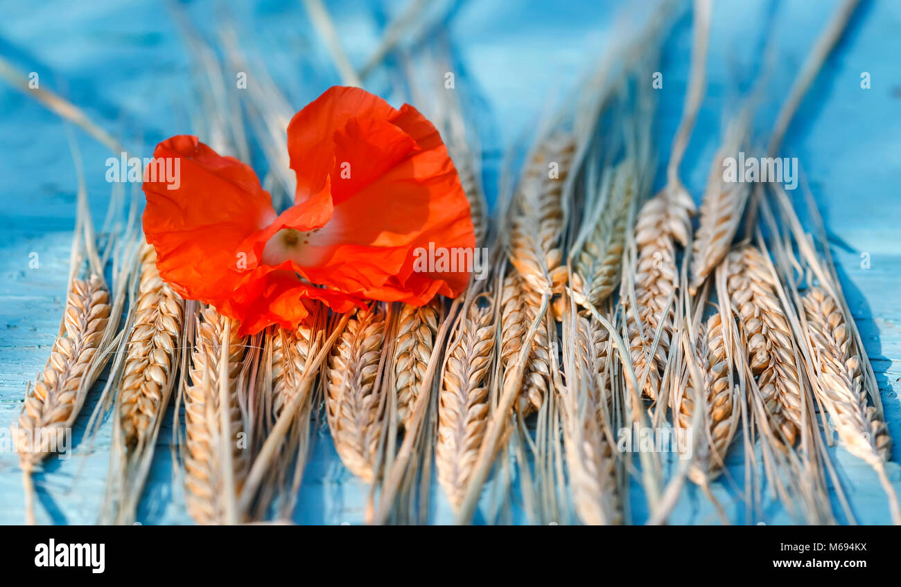 background of ripe Golden ears of corn and a bright red poppy on blue  table - Stock Image