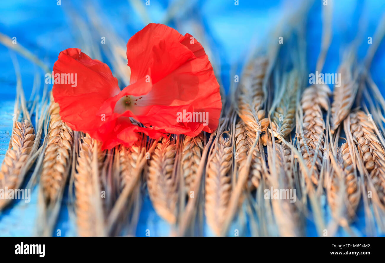 natural background of ripe Golden ears of corn and a bright red poppy on blue  table - Stock Image