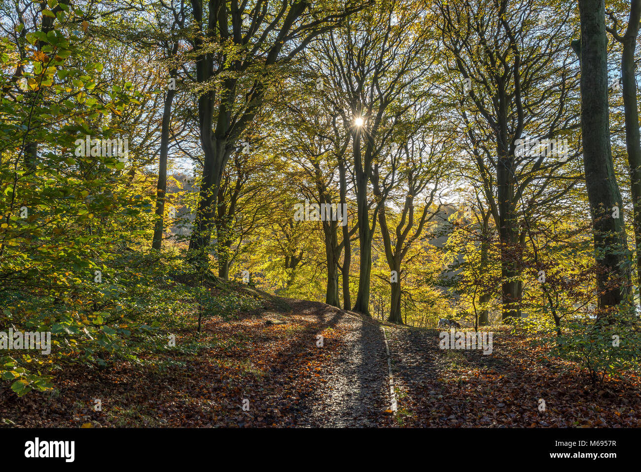 Autumn colours as the sun shines through Beech Trees along the wooded footpaths of the Rivington Chorley Lancashire - Stock Image